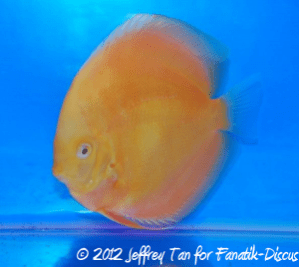 Discus open solid 2nd Malaysian discus show 2012