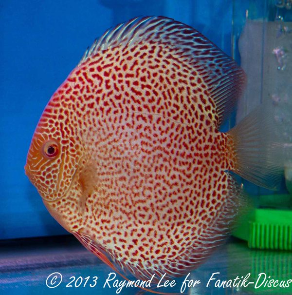 Discus albino pattern 1st Singapour 2012