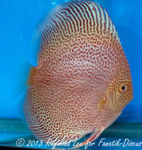 Discus albino pattern 2 nd Singapour 2012