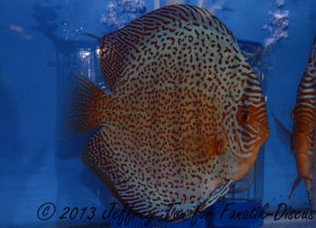 Discus red spotted 3rd Singapour 2012