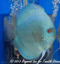 Aquarama 2013 Class 1 Discus Solid blue02_1