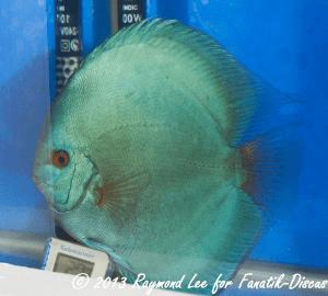 Aquarama 2013 Class 1 Discus Solid blue03_1