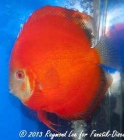 Aquarama 2013 Class 2 Discus Solid red 03_1