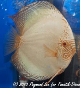 Aquarama 2013 Class 7 Discus solid albino 02_1