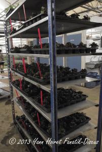 Plantes d'aquarium prête à la mise en culture