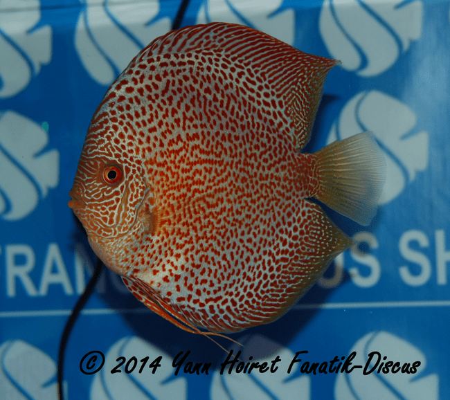 Discus 1st CAT Spotted France discus show 2014