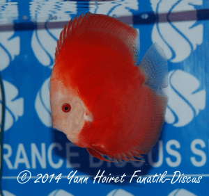 Discus 2nd CAT Solid red France discus show 2014