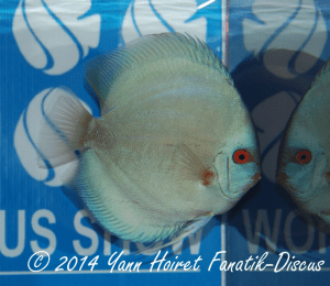 Discus 3th CAT Solid Blue France discus show 2014