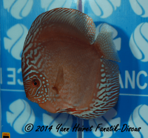 Discus 3th CAT brun/sauvages France discus show 2014
