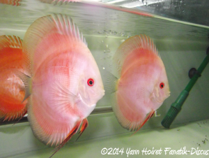 Discus Red Melon Color Booster Dennerle Yann Hoiret DAY 1
