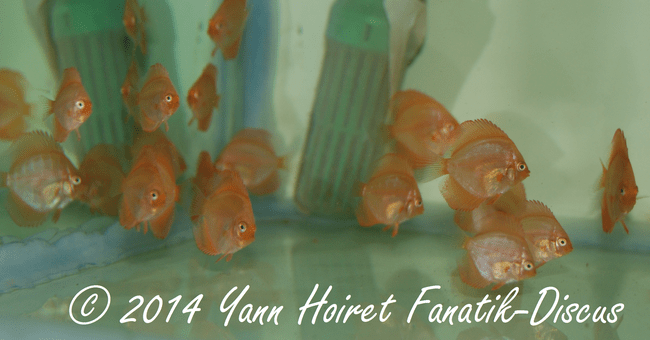 Red Melon Discus fry Yann Hoiret  5 weeks