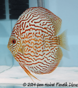 Discus Turquoise pattern coarse 2nd Greek Discus Show 2014