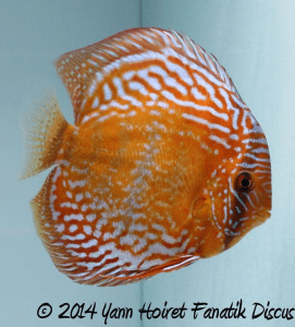 Discus sauvage 1st Greek Discus Show 2014_1