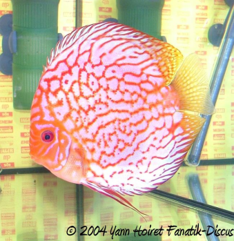Discus stendker pigeon blood red