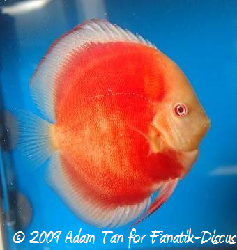 Discus red cover albinos Aquarama 2009