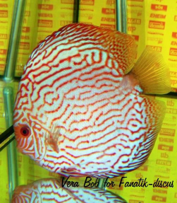 Discus pigeon blood stripped