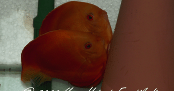 Couple reproducteur de discus Red Melon