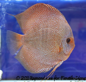 Aquarama 2011 discus Grand champion