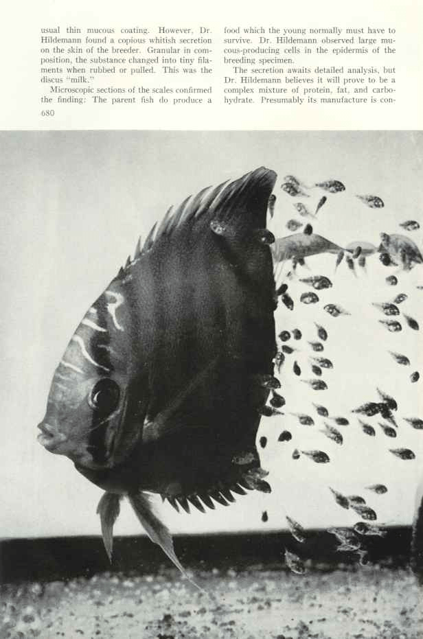 The discus fish yields a secret National geographic may 1960