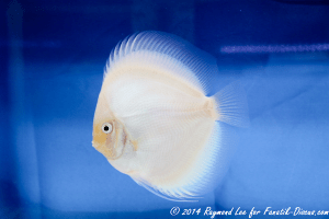 "Discus ""snow white"""