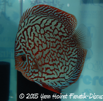 World Championship turquoise discus 2nd