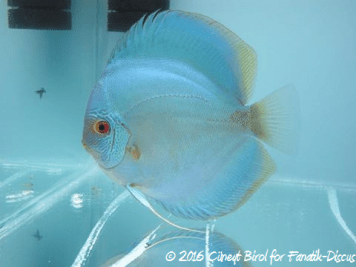 Blue discus fine stripes face