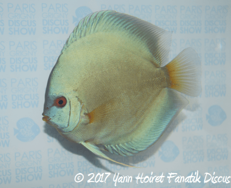 1er solid turquoise victor lim-asia discus