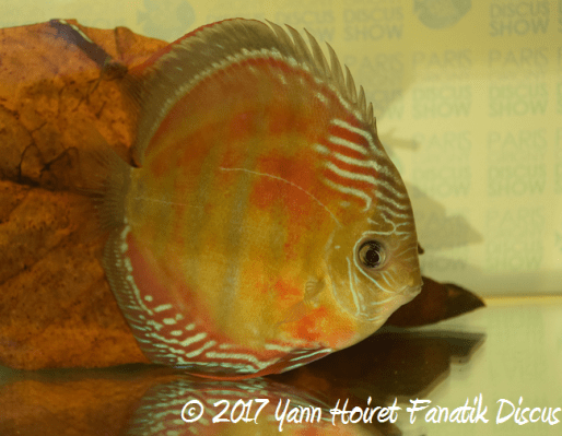 Wild brown Discus