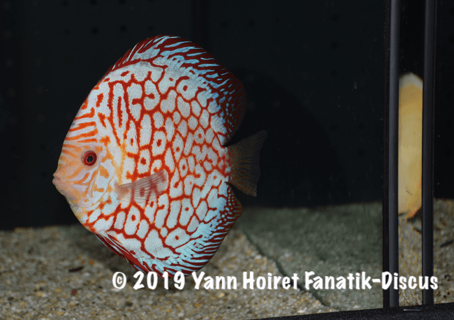 1ST pattern vivarium 2018 Discus friends show