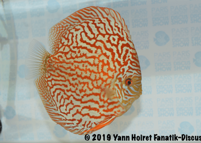 1 ST of large pattern meeting discus Paris Discus show 2019