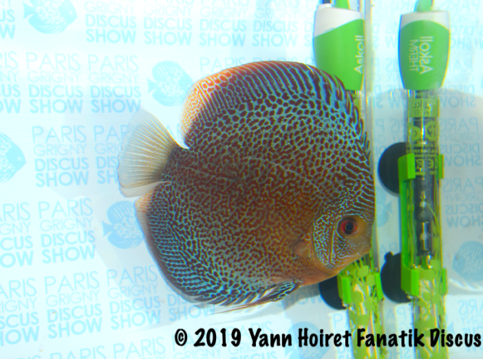 1st fine spotted discus Red spotted discus Paris Grigny 2019