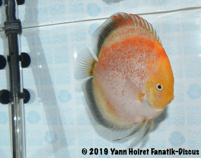 1st open meeting discus Paris Grigny 2019 discus calico spotted