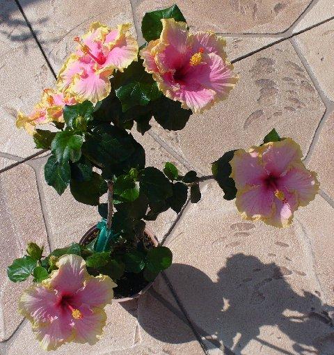 Indoor varieties of hibiscus TARANTELLA