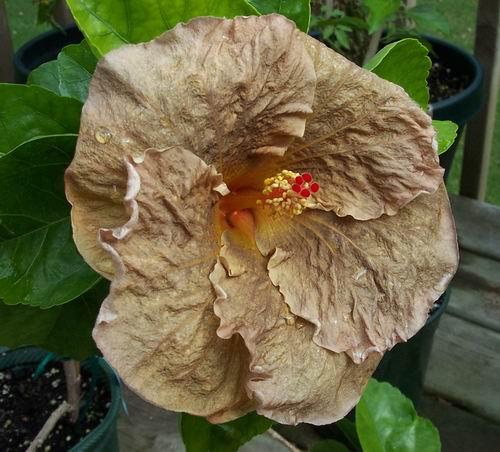 Brown hibiscus flowers