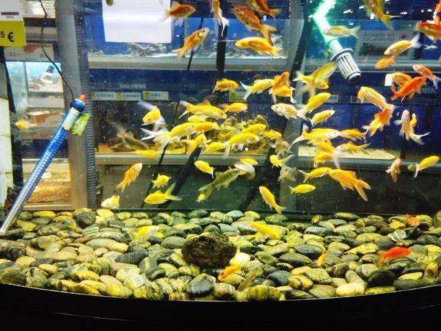 Pecera redonda peces rojos agua fr a cuidados for Filtros de agua para estanques de peces