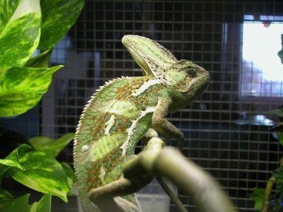 Chamaeleo calyptratus. Camaleón.