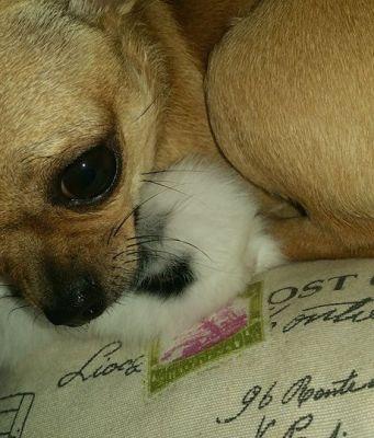 Chihuahua fanmascotas perro pequeño