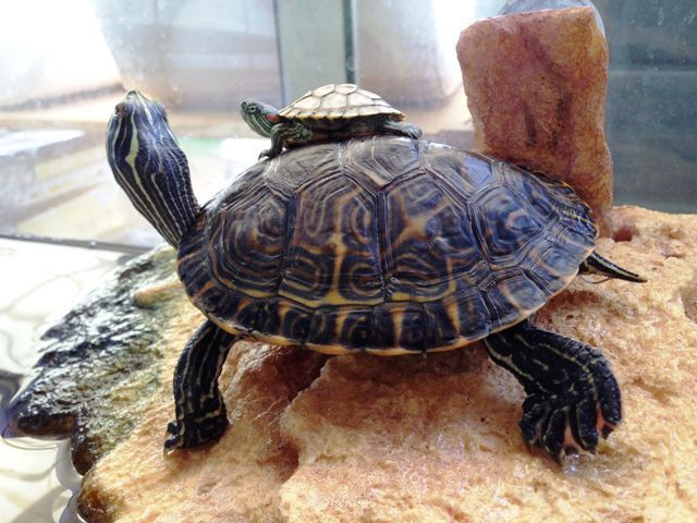 Tortuga de agua c mo cuidarla for Filtro para estanque de tortugas