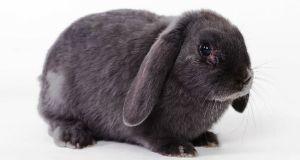 Raza de conejo belier