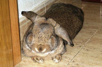 El conejo Billy es un conejo belier y vive en semi libertad en casa. Hace uso de un arenero como baño como si fuera un gatito.