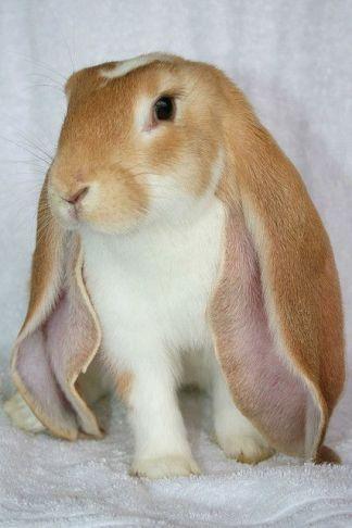 Conejo belier inglés