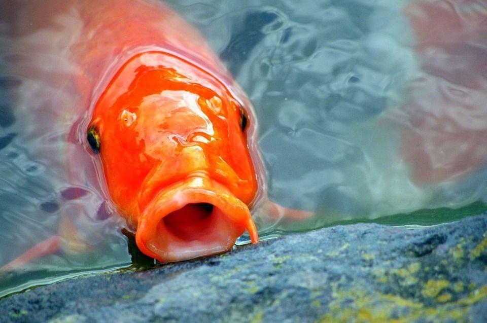 Estanque desaparecen los peces del estanque koi carasiuss for Plantas para estanque peces koi
