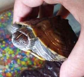 Tu tortuga es un problema en verano siguiendo estas pautas. ¡Ocupan poco espacio y te las puedes llevar sin problemas!