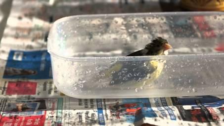 El canario adora el agua, y quedan tan mojados que apenas pueden volar. Verás cómo mueve su colita felix por el baño.