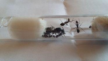Hormiga reina recién comprada con obreras aguardando para hacer su hormiguero.