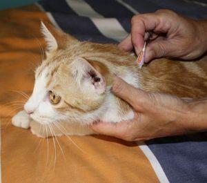 Los gatos son más revoltosos a la hora de colocarlos la pipeta o collar.