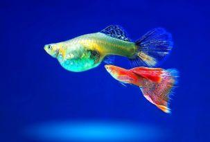Pareja de guppys. La hembra es la de mayor tamaño. Esta especie es un clásico en la iniciación en acuariofilia.