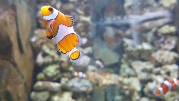 A Nemo no le hace gracia estar en un acuario pequeño. Es un pez que necesita espacios amplios. Yo lo considero uno de los reyes de la acuariofilia.