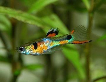El Guppy Endler (Poecilia wingei) también se está popularizando para acuarios pequeños.