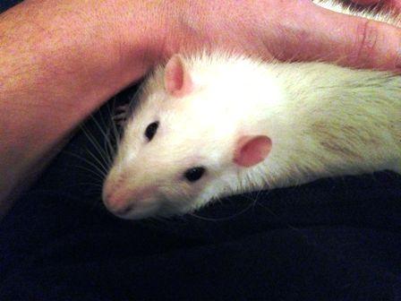 Las ratas son mascotas que se pueden acariciar cuando están domesticadas